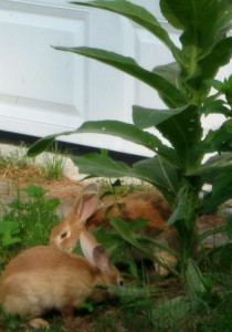 rabbits and mullein